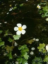 Ranunculus peltatus (Pond Water-crowfoot)