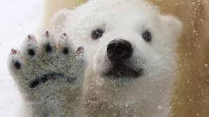 """Résultat de recherche d'images pour """"image de ours blanc"""""""