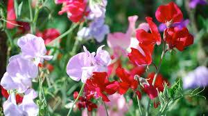 <b>Душистый горошек</b> посадка и уход Выращивание из семян когда ...