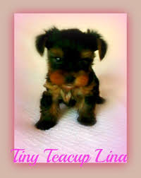 Sunshine Pups - Tcup female <b>Lina 900</b>$ 423-300-1205   Facebook