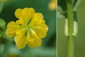 Trifolium patens agrandissement