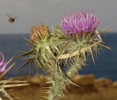 Onopordum argolicum (Argolian Cotton Thistle) : MaltaWildPlants ...