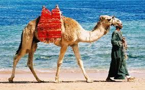 Egypt, tourism, Sharm Elsheikh, camel, beach four season resort