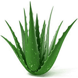 Harit- The Plants Shop Air Purifying Aloe Vera Plant (Green)